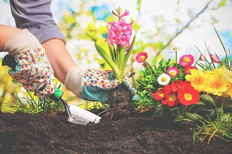دست های یک خانم با دستکش باغبانی در حال کاشتنه گل در باغچه