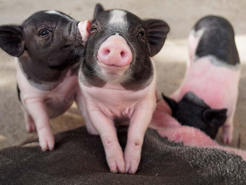 خوک سفید و مشکی